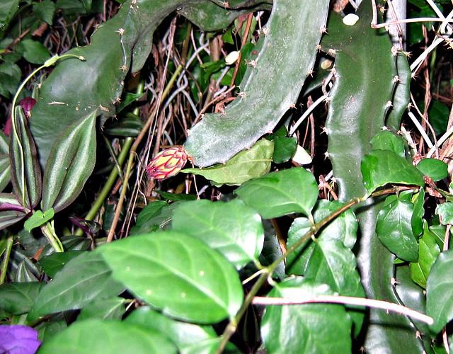 Small Cereus bud