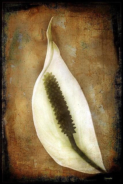 Spathiphyllum l'ancien....