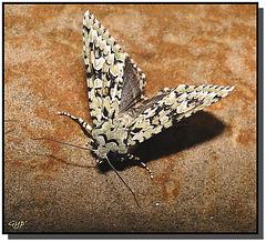 Griposia (Dichonia) aprilina - atterrissage.