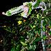 Night blooming cereus cactus -