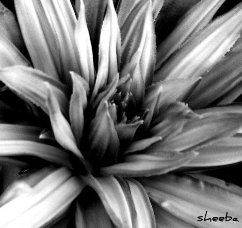 Black & white bromeliad...