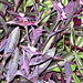 Colorful groundcover -- Purple Heart