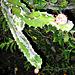 Night blooming cereus cactus bud Aug 21