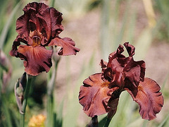 Iris Dutch chocolate