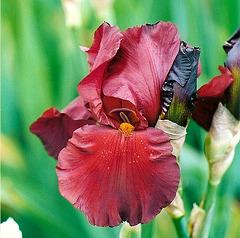 Iris Inferno