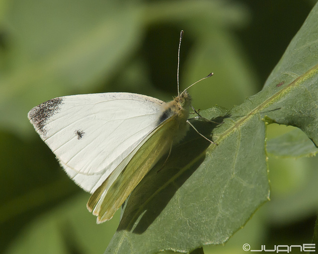 Pieris rapae.(♂)