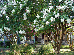 Lilas blancs / White lilacs - Pocomoke, Maryland. USA - 18 juillet 2010.