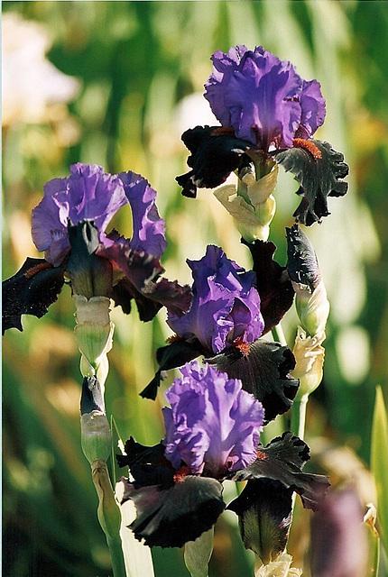 Iris Romantic Evening