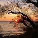 Tamaris et soleil couchant