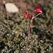 Lily-type plant by Laguna Conchali