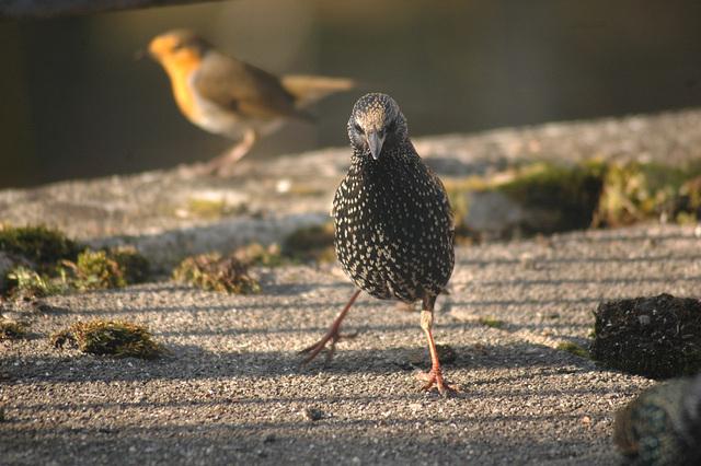 Star - starling - sansonnet