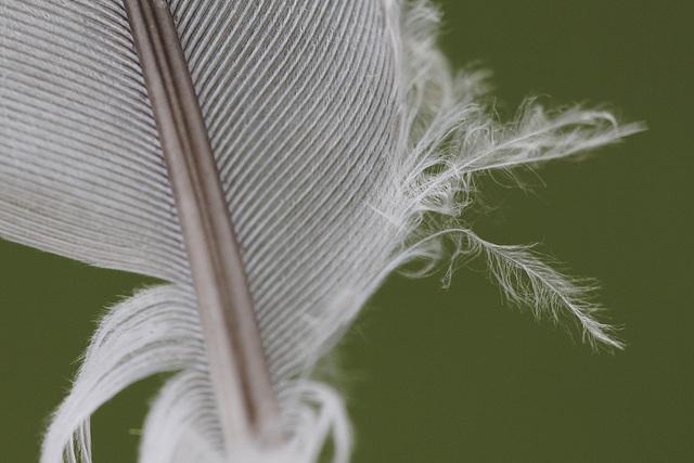 Barbes-de-plume