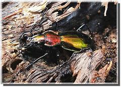 Chrysocarabus splendens mâle.