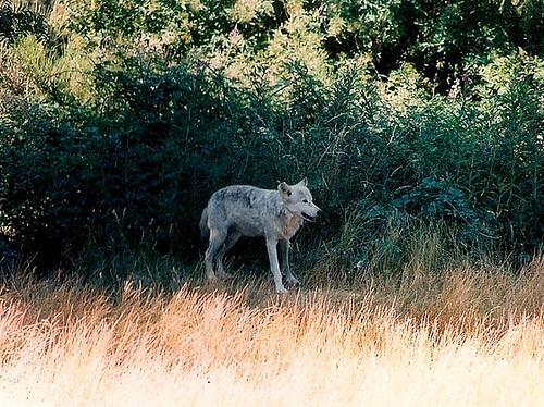 Loup en goguette