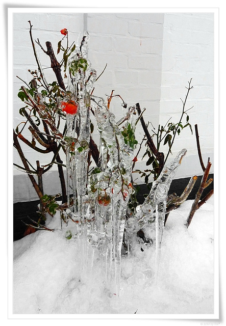 ice ☆ roses