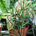 Euphorbia tiracalli (2)