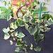 Senecio macroglossum variegata