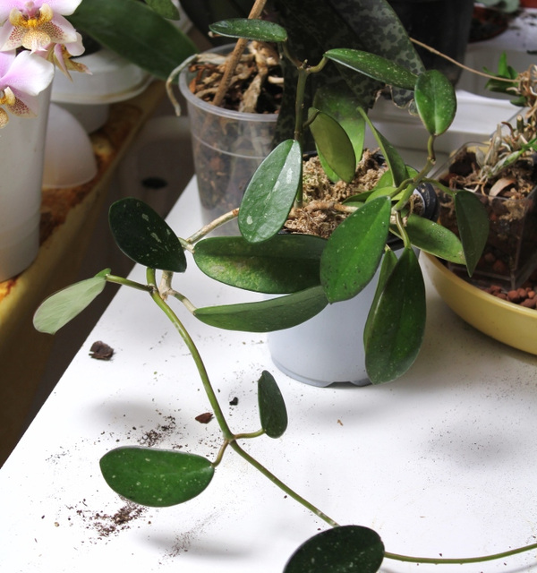 Hoya diversifolia (2)