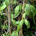 Hoya erythrostemma