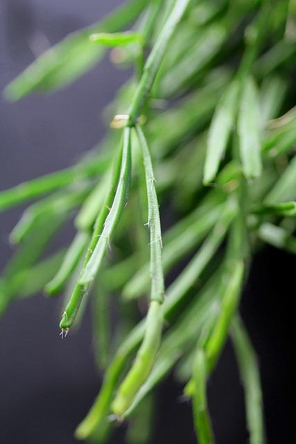 rhipsalis ewaldiana