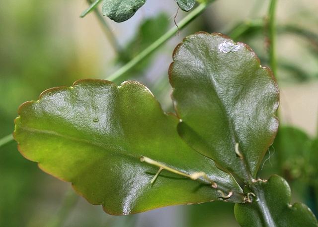 Rhipsalis pachyptera