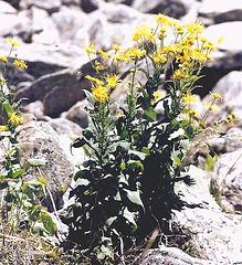 Doronicum austriacum