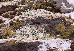 antennaria dioica- Mézenc