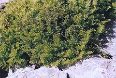 Allosaure crispée(Cryptogramma)