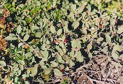 Cotoneaster nain(integerrima)