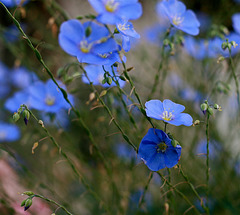 Petites fleurs bleues