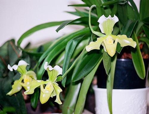 Paphiopedilum hybride -Dorama (Alma x Dora)