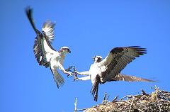 Osprey fight