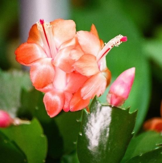 floraison des schlumbergera ou cactus de no l. Black Bedroom Furniture Sets. Home Design Ideas