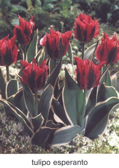 Tulipo Esperanto