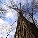20110108 9202Ww [D~LIP] Baum (Himmelsstürmer)