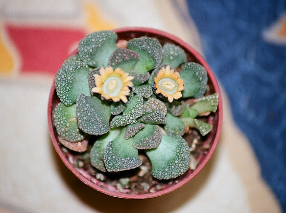 Titanopsis calcarea 9874379.d9674549.560