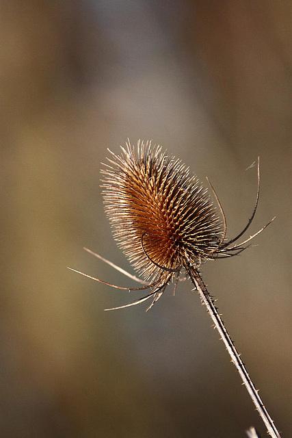 20110110 9265RAw [D~LIP] Wilde Karde (Dipsacus silvestris)