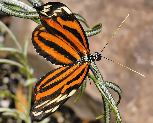 Tiger Longwing – Brookside Gardens
