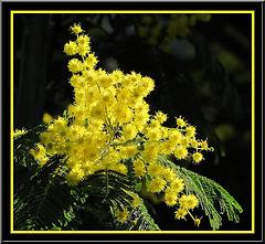 Mimosa de Tanneron