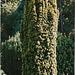 Taxus bacata aurea