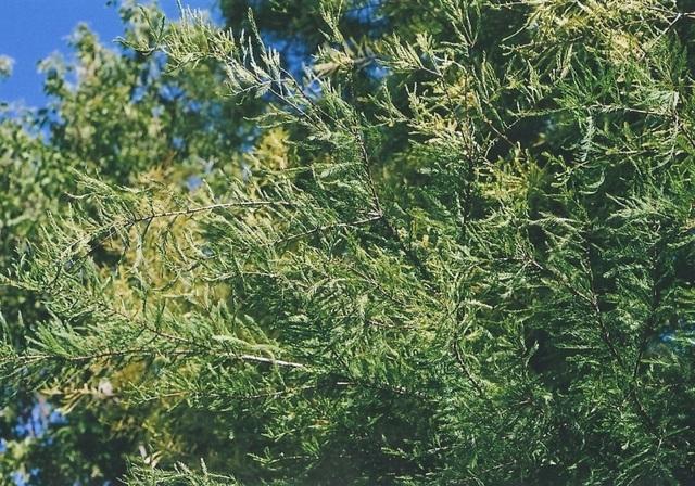 Taxodium (2)