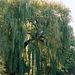 Saule pleureur- Salix babylonica