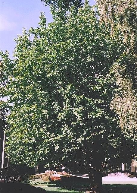 magnolia acuminata espèce type
