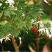 érable du japon aconitifolium