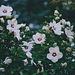 Hibiscus syriacus blanc