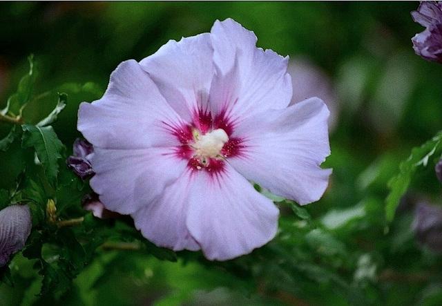 Hibiscus syriacus bleu