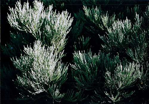 feuillage de Sequoiadendron