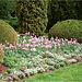 parterre au tulipes roses