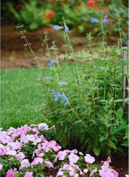 sauge- Salvia patens