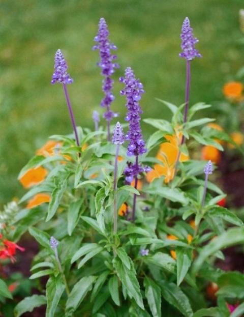 sauge - Salvia farinacea